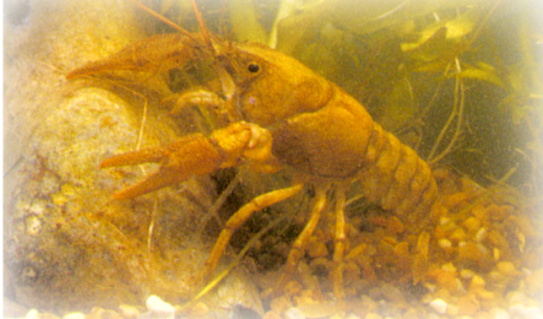 Native Crayfish